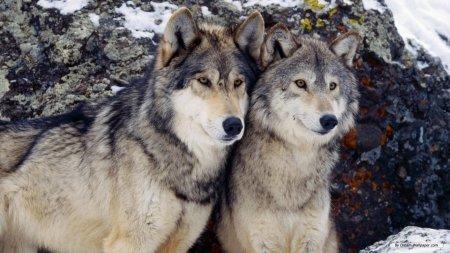 На Прикарпатті розгулює зграя вовків, фото-1