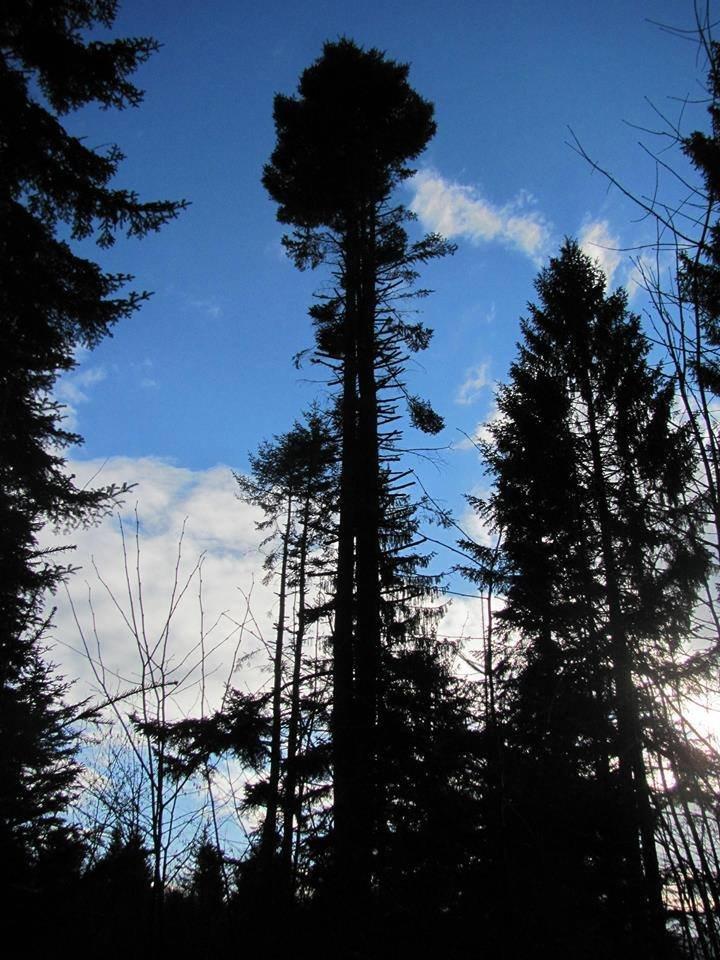 Ялиці, як пальми. Зі столітніх дерев обрізають гілки на новорічні прикраси. ФОТО, фото-1
