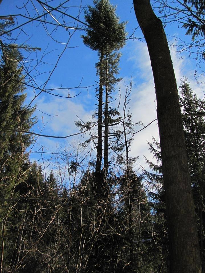 Ялиці, як пальми. Зі столітніх дерев обрізають гілки на новорічні прикраси. ФОТО, фото-2