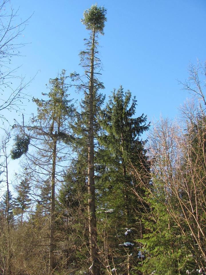 Ялиці, як пальми. Зі столітніх дерев обрізають гілки на новорічні прикраси. ФОТО, фото-3