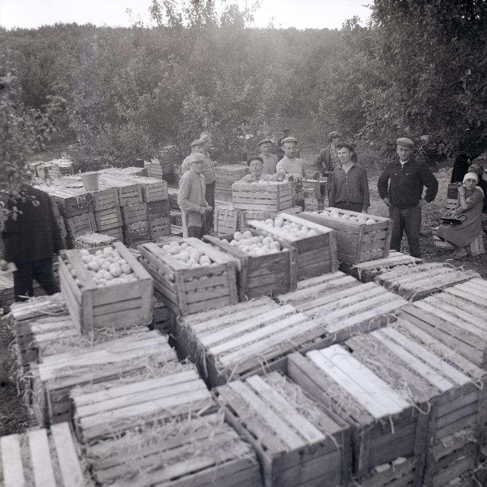 Прикарпатська агроромантика: як у 1960-х яблука збирали. ФОТО, фото-2
