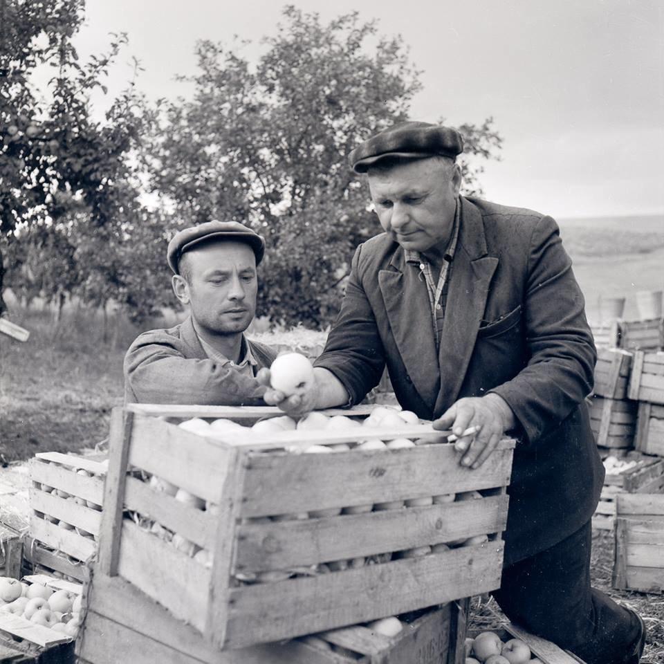 Прикарпатська агроромантика: як у 1960-х яблука збирали. ФОТО, фото-1