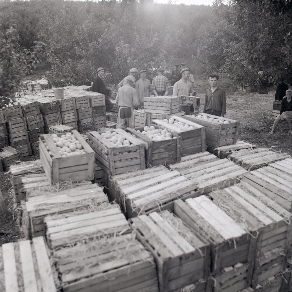 Прикарпатська агроромантика: як у 1960-х яблука збирали. ФОТО, фото-4