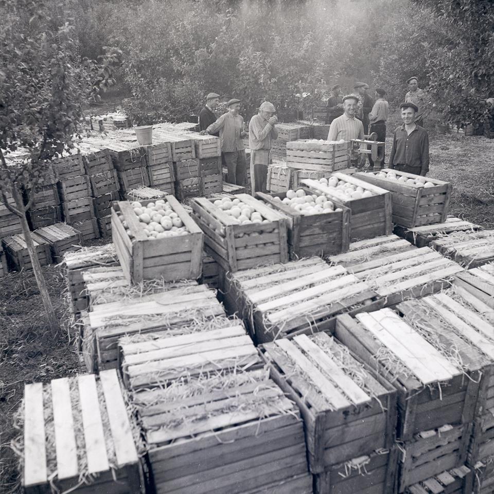 Прикарпатська агроромантика: як у 1960-х яблука збирали. ФОТО, фото-5