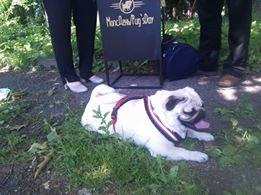 Найкумедніші з собак. МопсДень у Франківську. ФОТО, фото-5