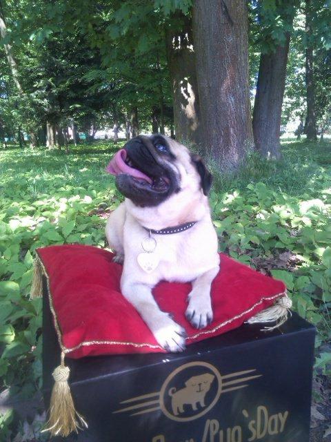 Найкумедніші з собак. МопсДень у Франківську. ФОТО, фото-8