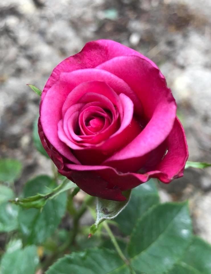 У франківському парку квітне чималий розарій. ФОТО, фото-1