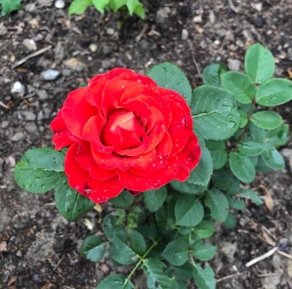 У франківському парку квітне чималий розарій. ФОТО, фото-5