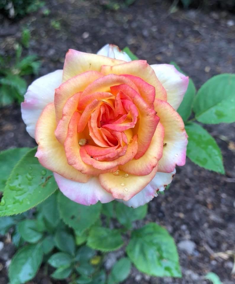 У франківському парку квітне чималий розарій. ФОТО, фото-6