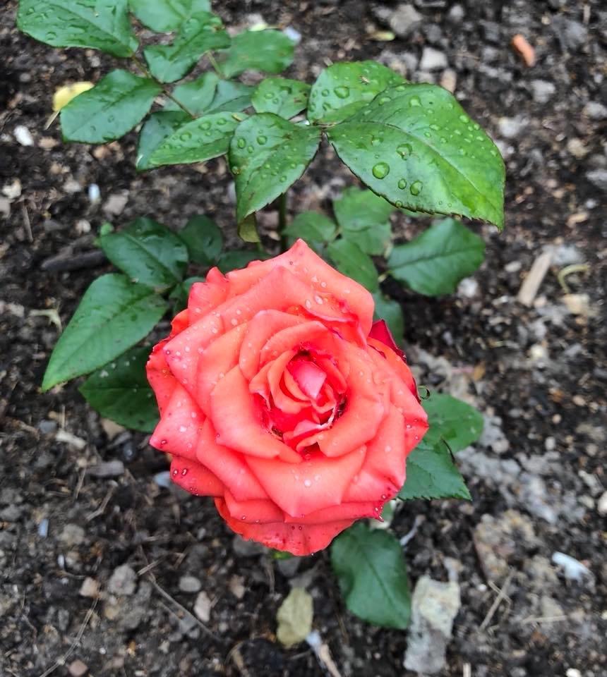 У франківському парку квітне чималий розарій. ФОТО, фото-7