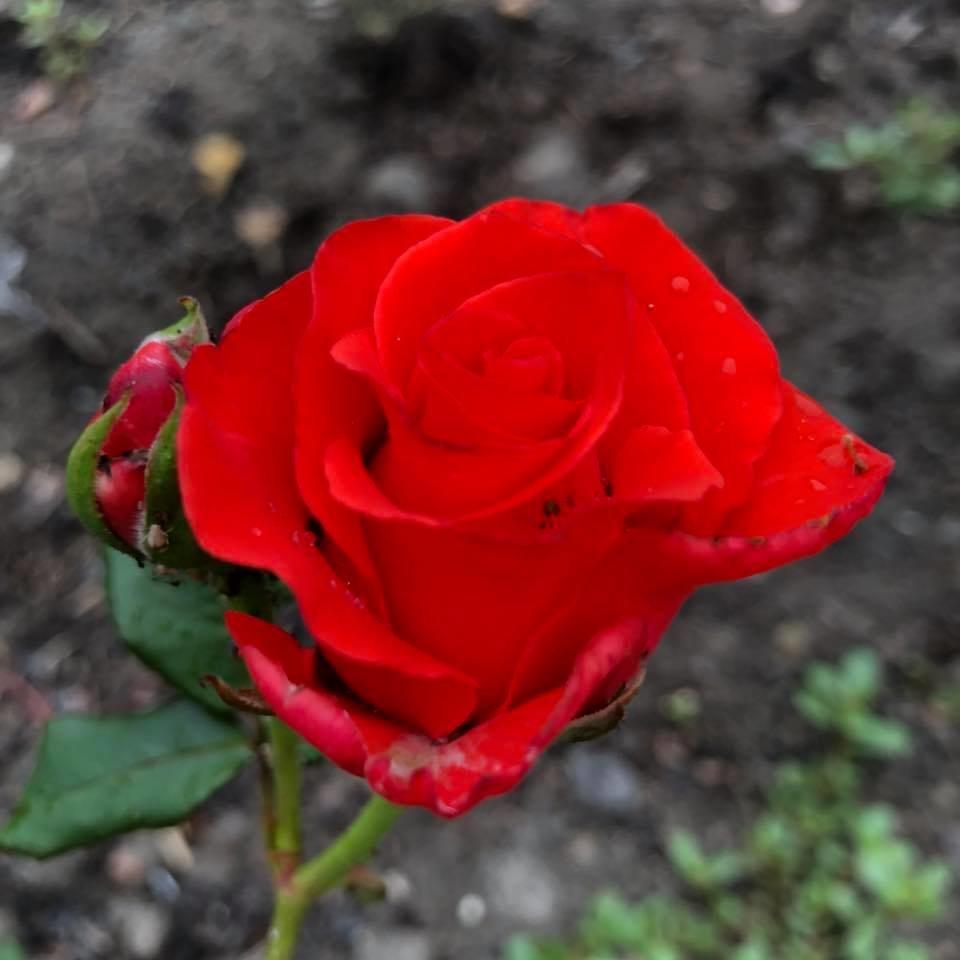 У франківському парку квітне чималий розарій. ФОТО, фото-2