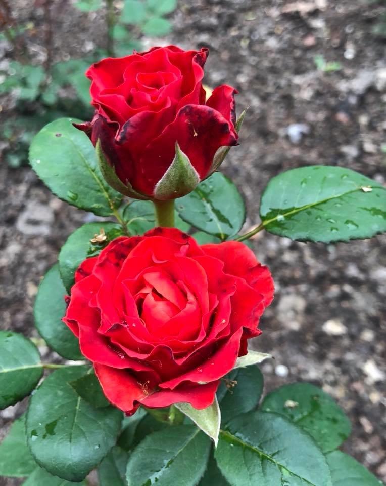 У франківському парку квітне чималий розарій. ФОТО, фото-9