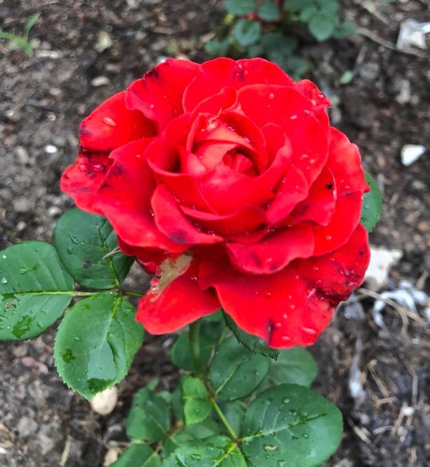 У франківському парку квітне чималий розарій. ФОТО, фото-10