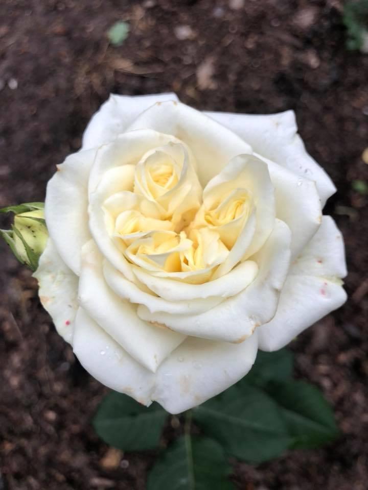 У франківському парку квітне чималий розарій. ФОТО, фото-3