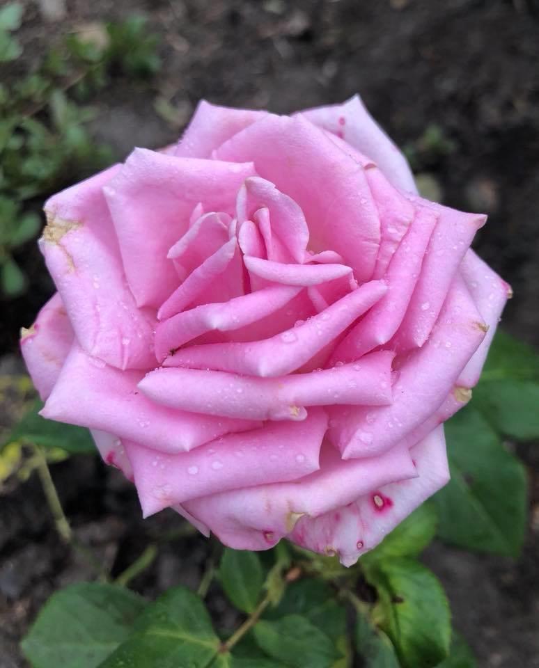 У франківському парку квітне чималий розарій. ФОТО, фото-4