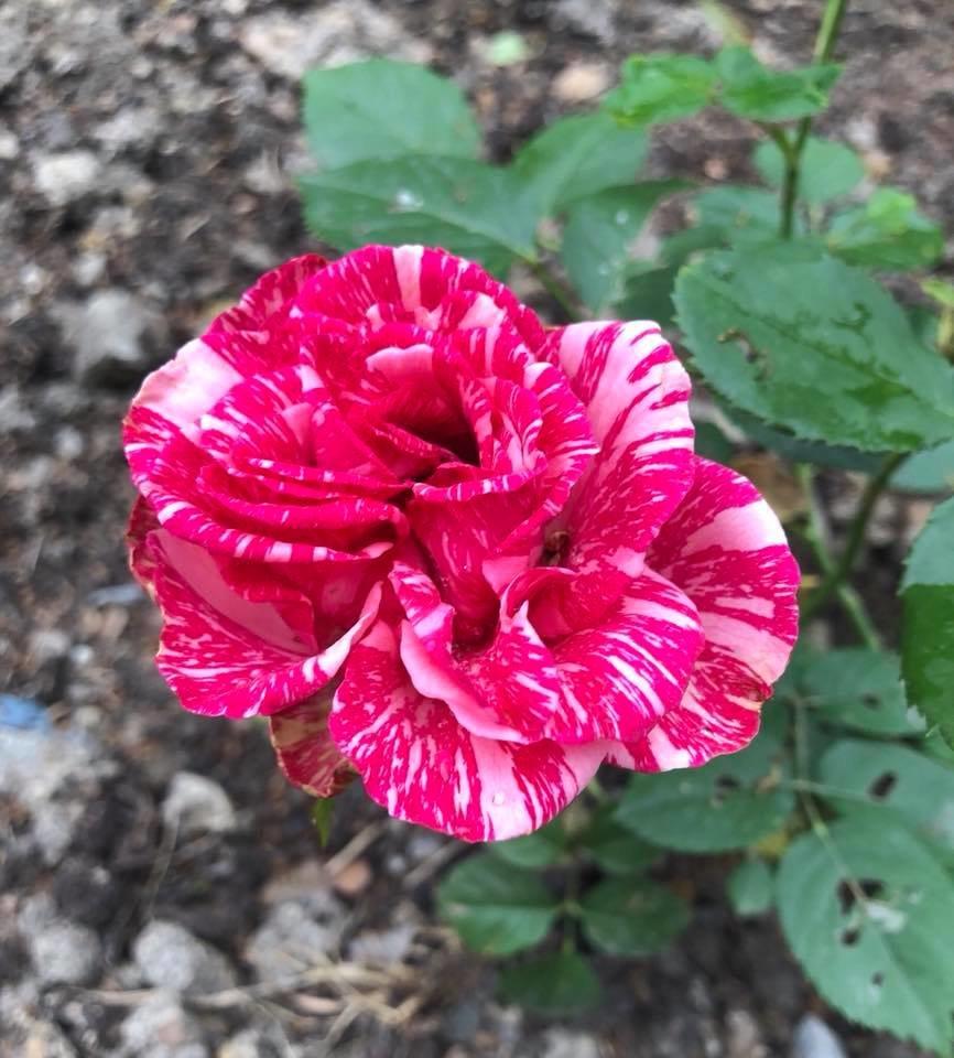 У франківському парку квітне чималий розарій. ФОТО, фото-12