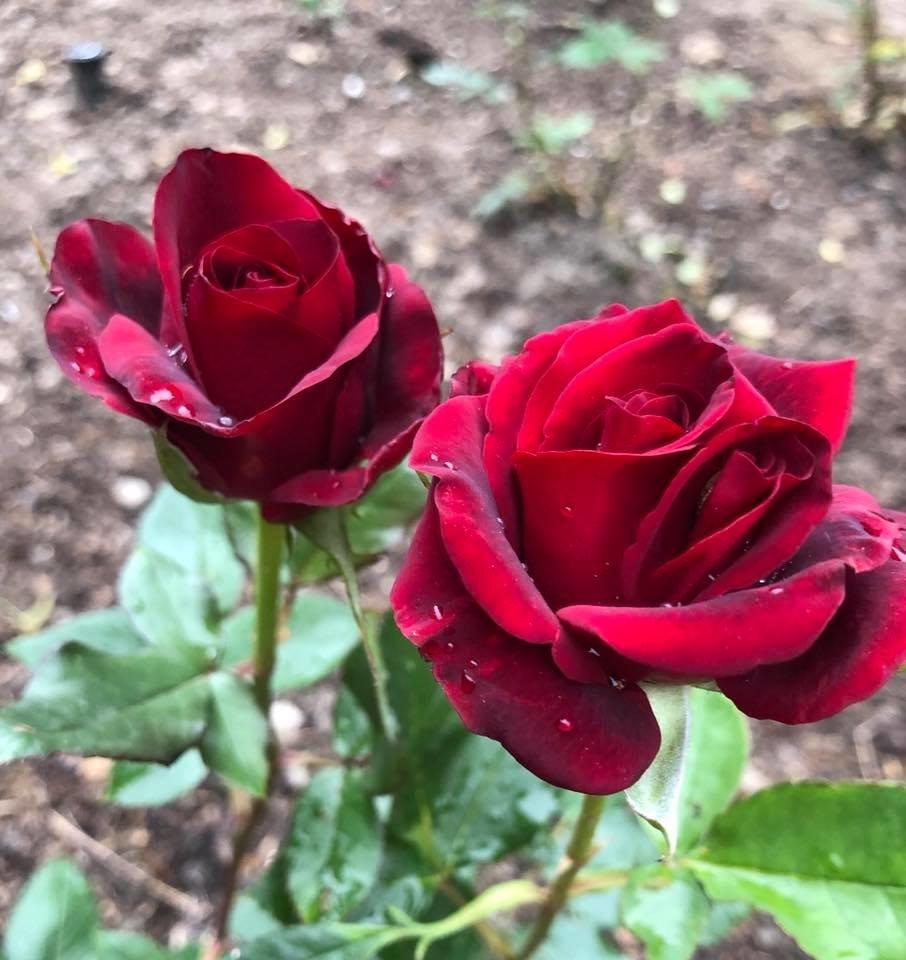У франківському парку квітне чималий розарій. ФОТО, фото-13