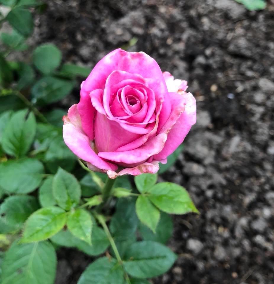 У франківському парку квітне чималий розарій. ФОТО, фото-14