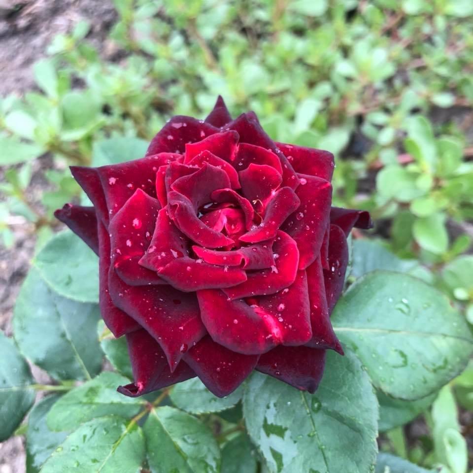 У франківському парку квітне чималий розарій. ФОТО, фото-16