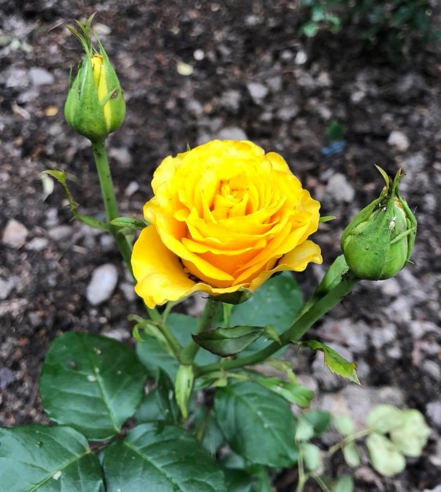 У франківському парку квітне чималий розарій. ФОТО, фото-18