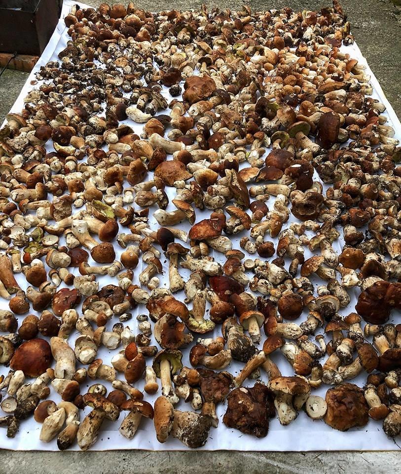 Шокуюча грибарка на Прикарпатті: майже сотня кілограмів білих грибів. ФОТО, фото-3