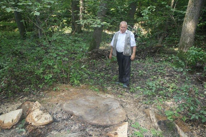 На Прикарпатті зрізали 5 столітніх дубів. ФОТО, фото-1