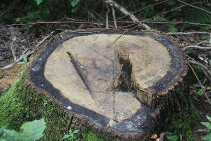 На Прикарпатті зрізали 5 столітніх дубів. ФОТО, фото-3