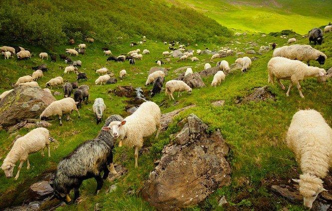 Гуцули і вівці – це нероздільно: прикарпатець розробив проект відродження вівчарства
