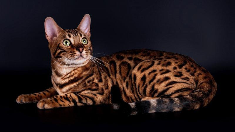 Все про бенгальських котів: особливості догляду і вакцинація , фото-1