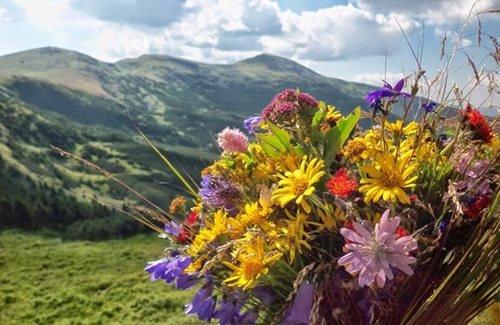 Карпатські трав'яні та квіткові чаї. Цілющі властивості з запахом гір, фото-1