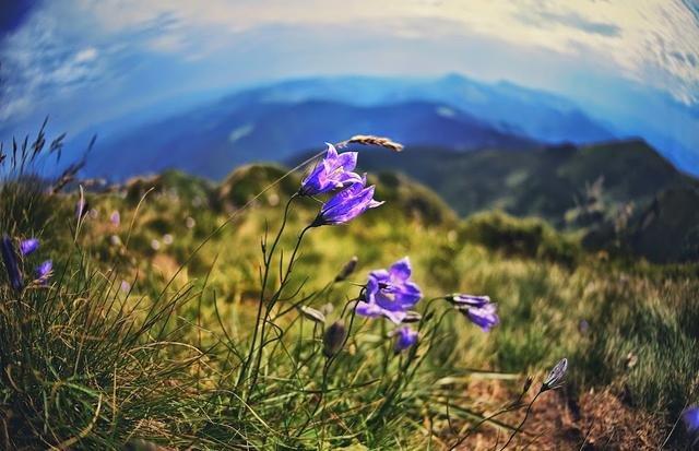 Карпатські трав'яні та квіткові чаї. Цілющі властивості з запахом гір, фото-4