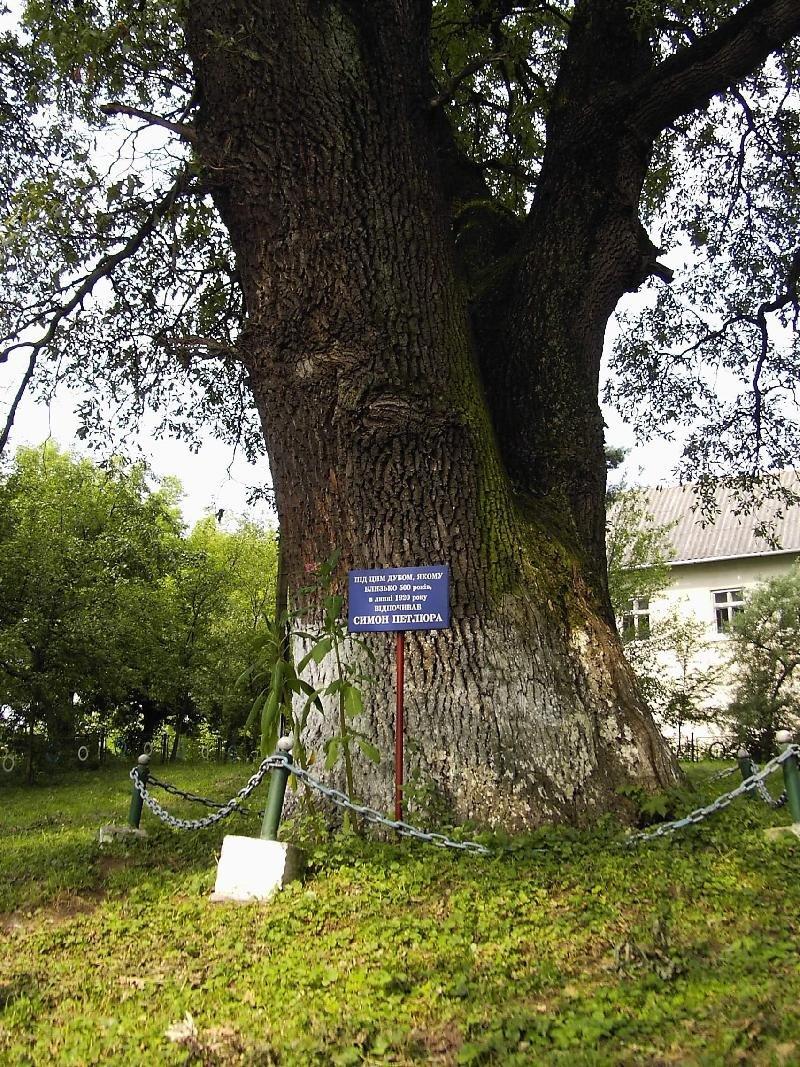 Дуб Симона Петлюри. У Галицькому районі планують реанімувати історичне дерево, фото-2