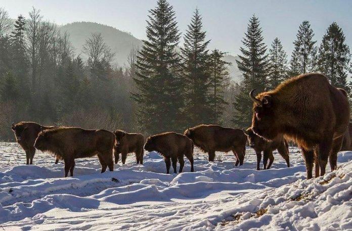 У засніжених Карпатах сфотографували стадо місцевих зубрів, фото-1