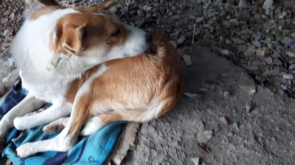 """На Прикарпатті """"шкуродери"""" двічі збили собаку, а потім підстрілили (ФОТО), фото-2"""
