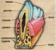 Що знаєте ви про свої зуби? Будова зуба – цікава і корисна інформація, фото-2