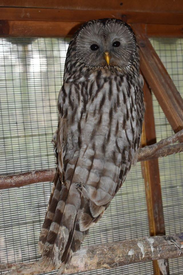 У Галицькому нацпарку нові мешканці – червонокнижні сови з пошкодженими крилами (ФОТО), фото-2