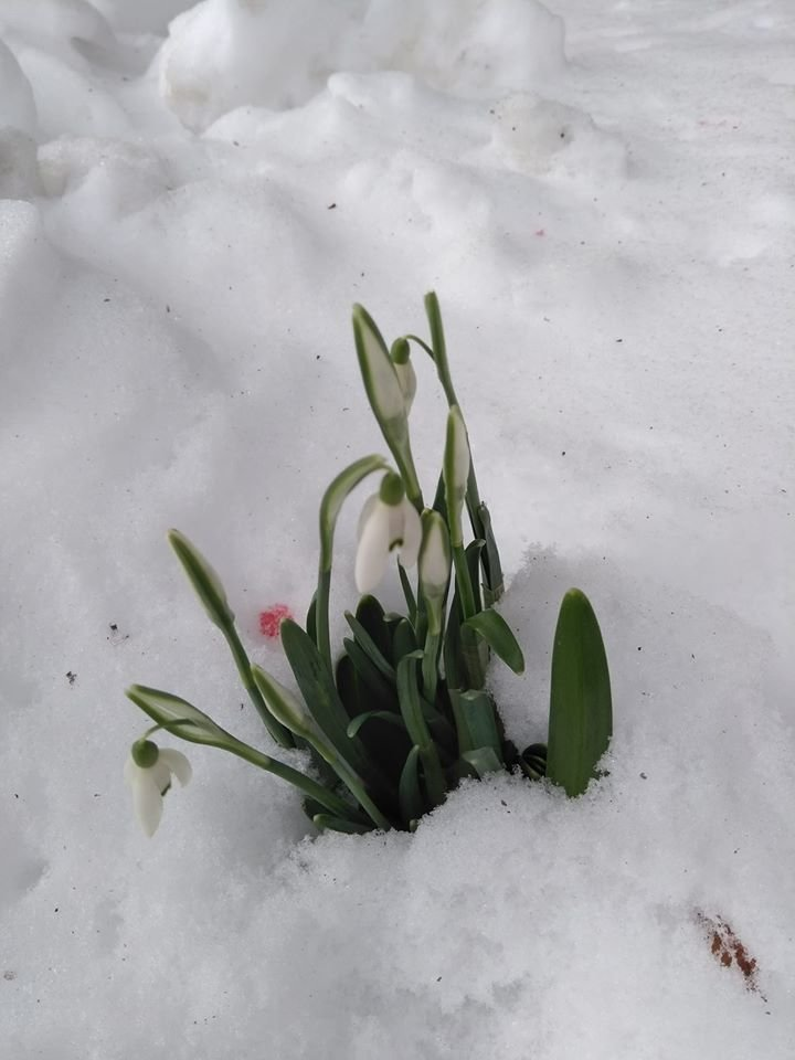 В Карпатах на Синевирі серед снігу розквітнули ранньовесняні підсніжники, фото-1
