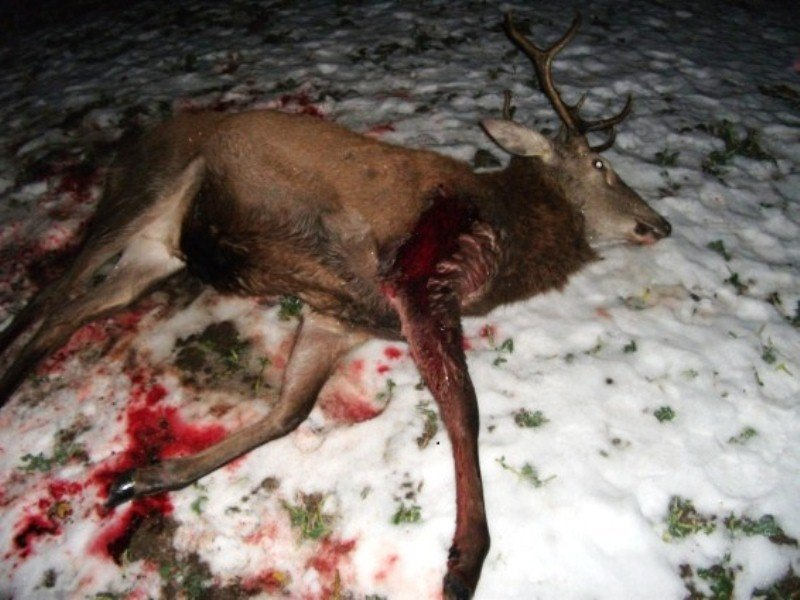 На Долинщині невідомі вбили оленя (фото 18+), фото-1