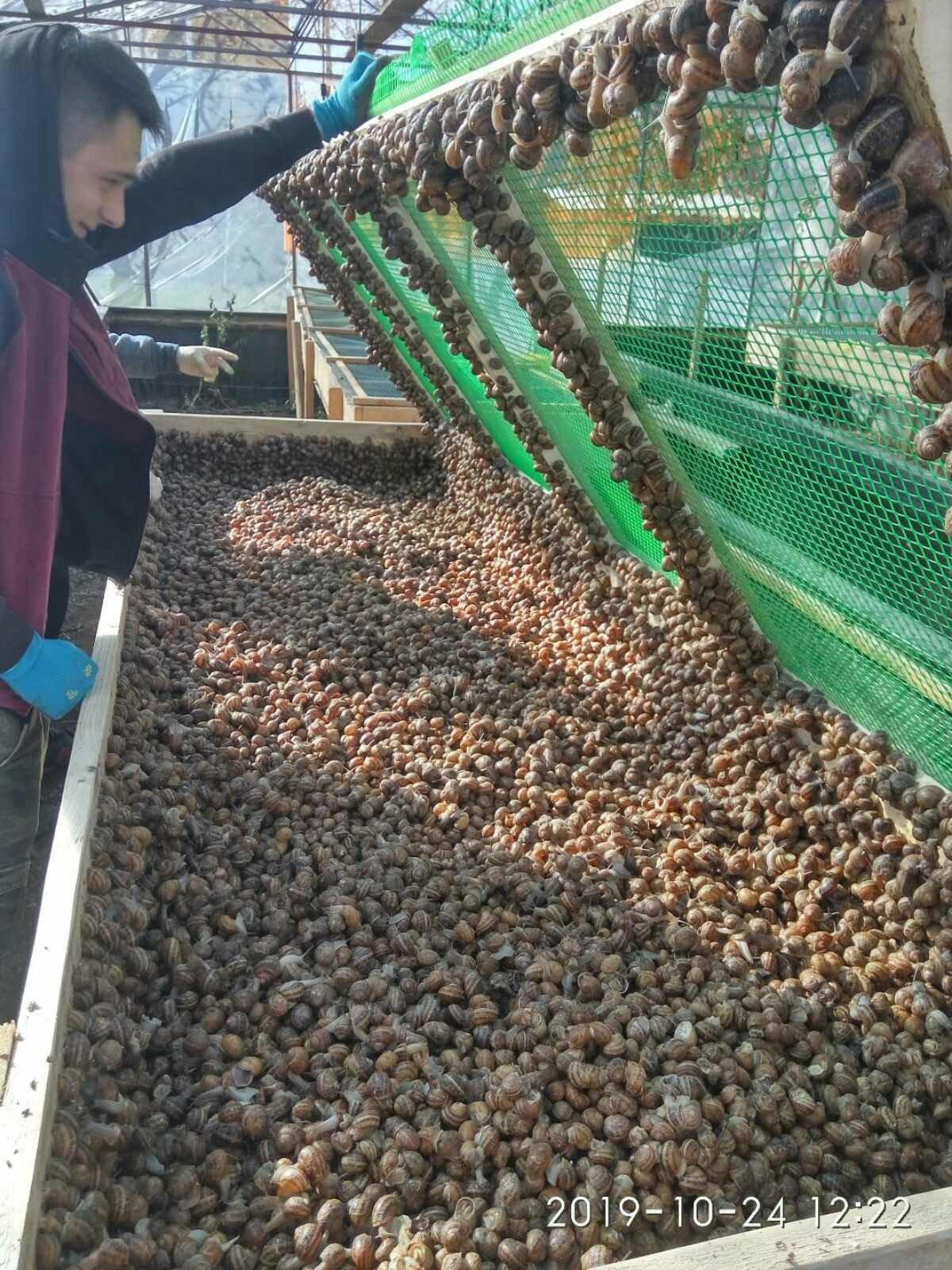 Їстівні равлики. «УхТи Равлик» – друга слимакова ферма на Прикарпатті, фото-2