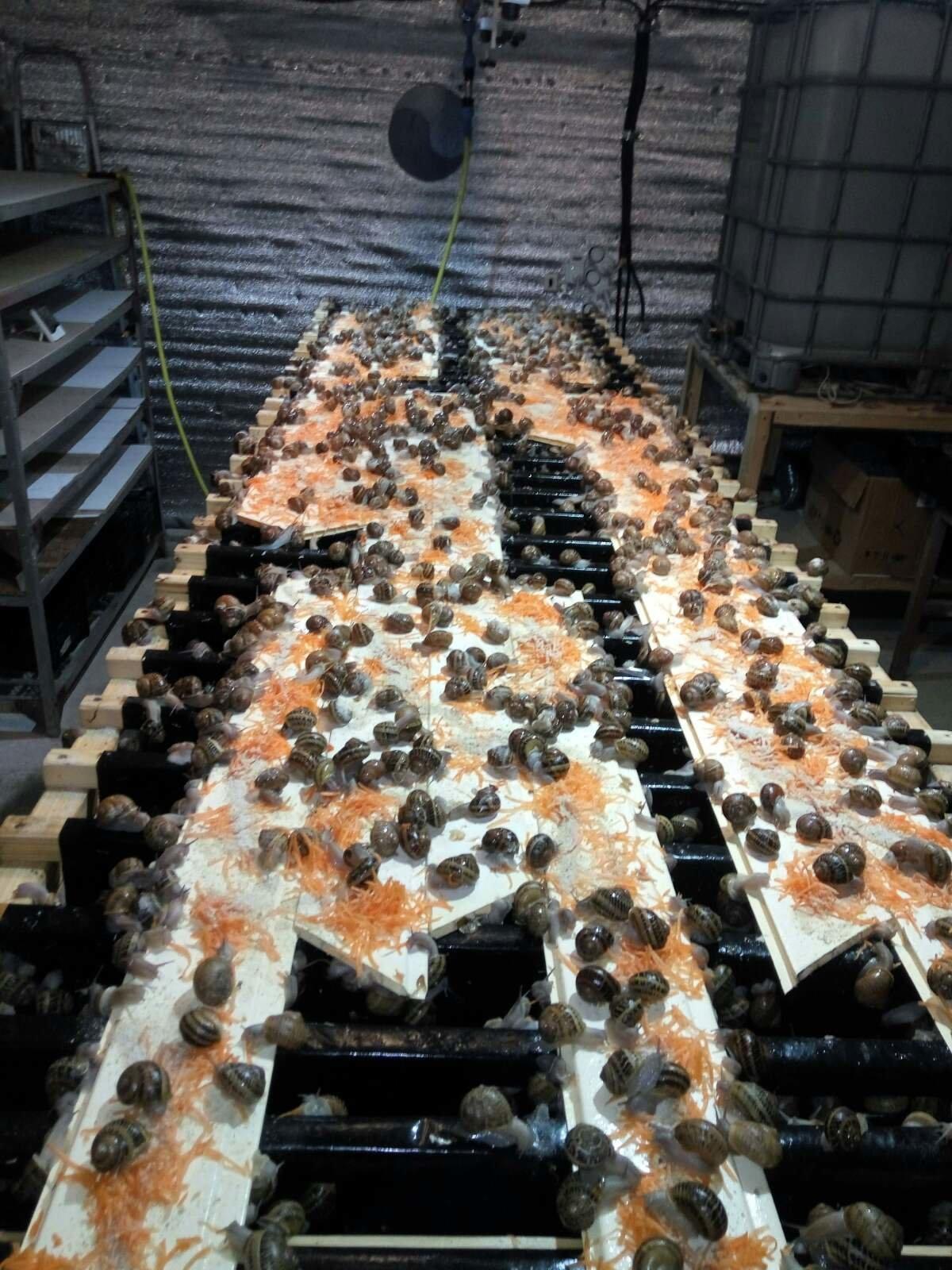 Їстівні равлики. «УхТи Равлик» – друга слимакова ферма на Прикарпатті, фото-3